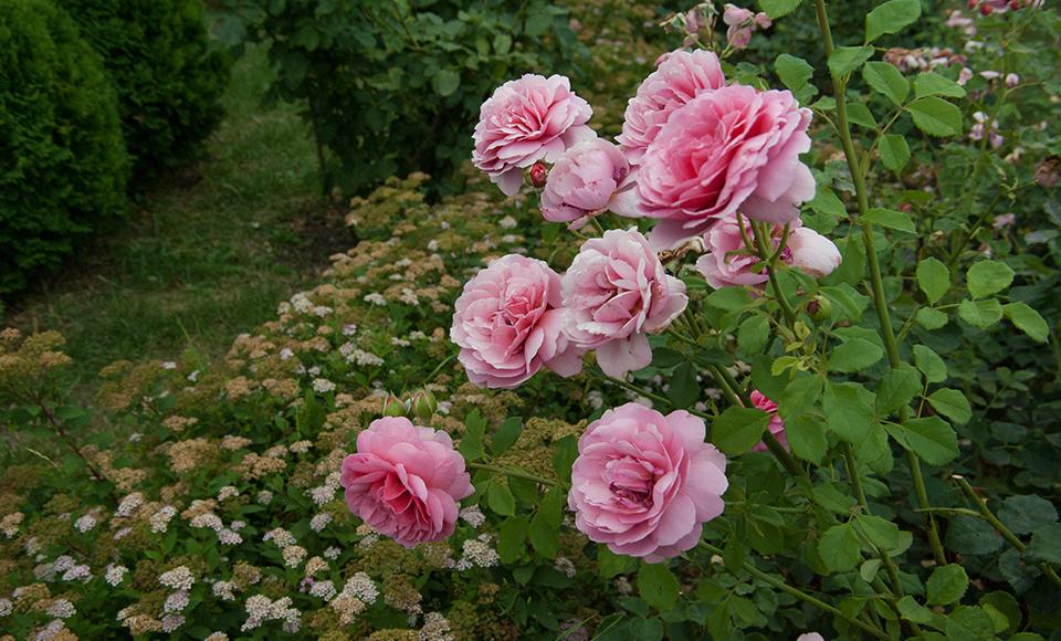 """На картинке изображен куст розовых роз. Материал с курса """"Ландшафтный дизайн"""""""