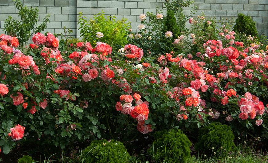 Фотография красных цветов в саду. Материал с курса Ландшафтный дизайн